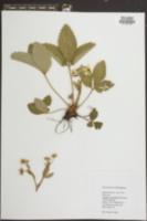 Fragaria virginiana image