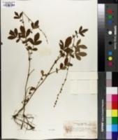 Agrimonia bicknellii image