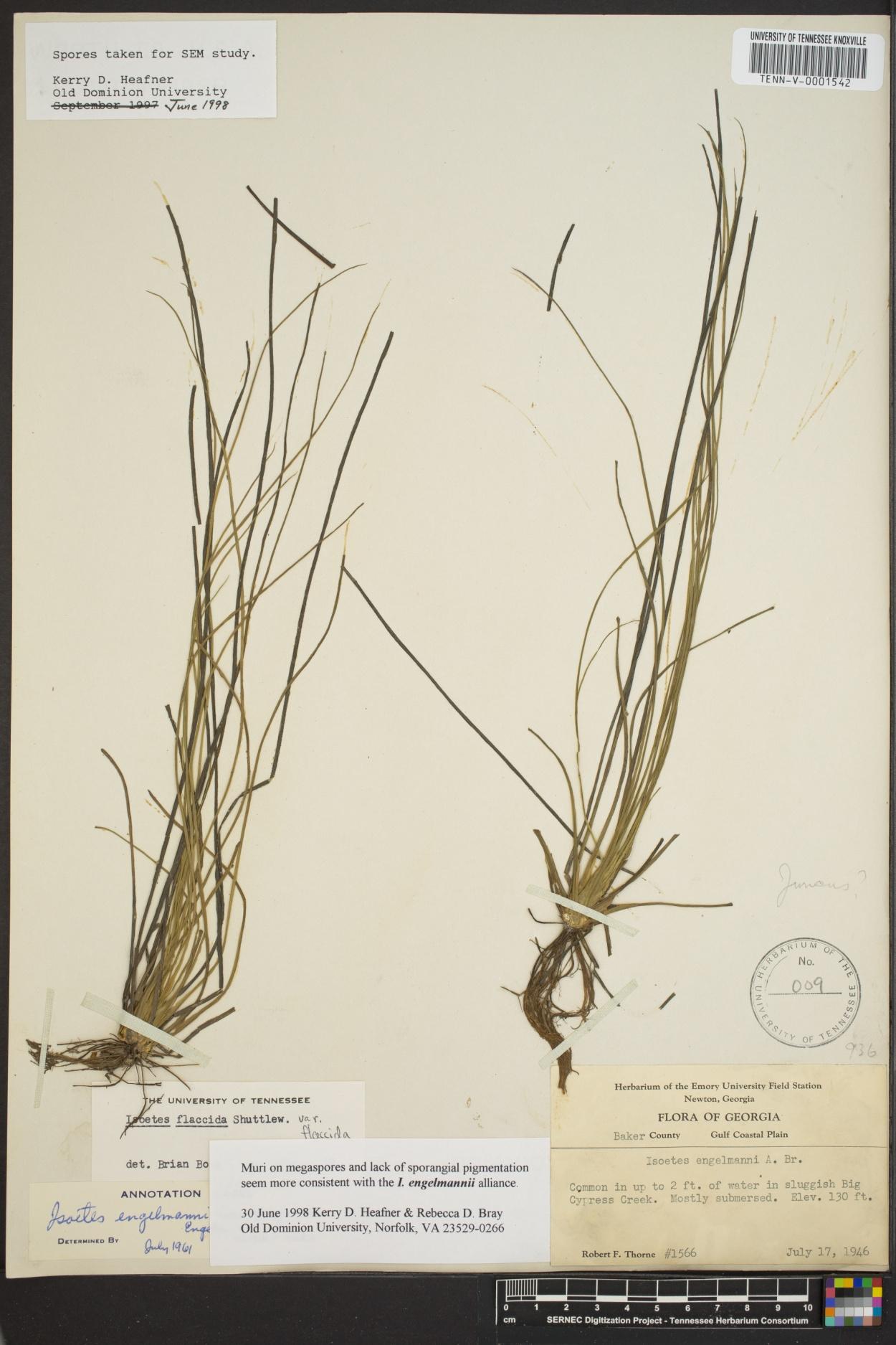 Isoetaceae image