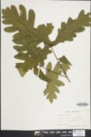 Quercus acutissima image