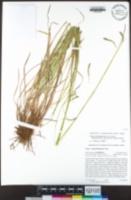 Carex cyrtostachya image