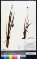 Xyris laxifolia image