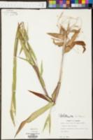 Dichanthelium oligosanthes var. scribnerianum image