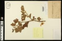 Image of Solanum aculeatissimum