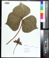 Image of Trillium sulcatum
