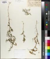 Vicia leavenworthii image