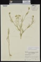 Ptilimnium nuttallii image