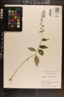 Lobelia amoena image
