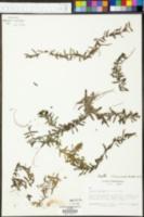 Didiplis diandra image