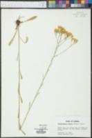 Bigelowia nudata image