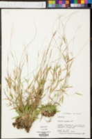 Panicum dichotomum var. roanokense image
