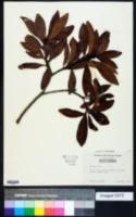 Image of Myrica rubra