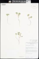 Cryptantha micrantha var. lepida image