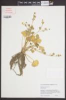 Ranunculus muricatus image