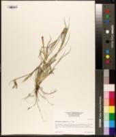 Dichanthium aristatum image