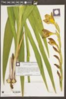 Gladiolus gandavensis image