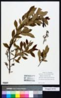 Image of Vaccinium arkansanum