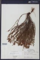 Hypericum reductum image