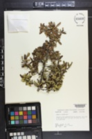 Image of Bumelia lacuum