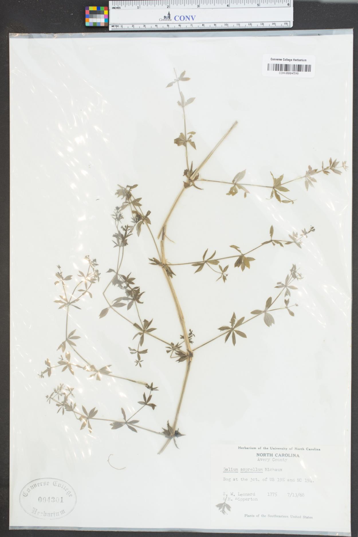 Galium asperulum image