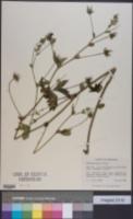 Image of Callirhoe bushii