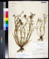 Sisyrinchium rosulatum image