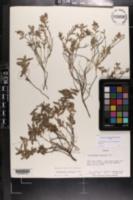 Image of Crocanthemum arenicola