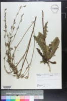 Image of Lactuca intybacea