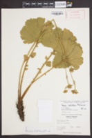 Image of Geum radiatum