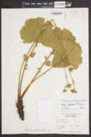 Image of Geum radiatum