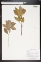 Image of Ipomoea violacea