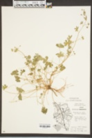 Geranium molle image
