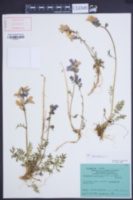 Polemonium caeruleum image