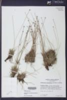 Lachnocaulon beyrichianum image