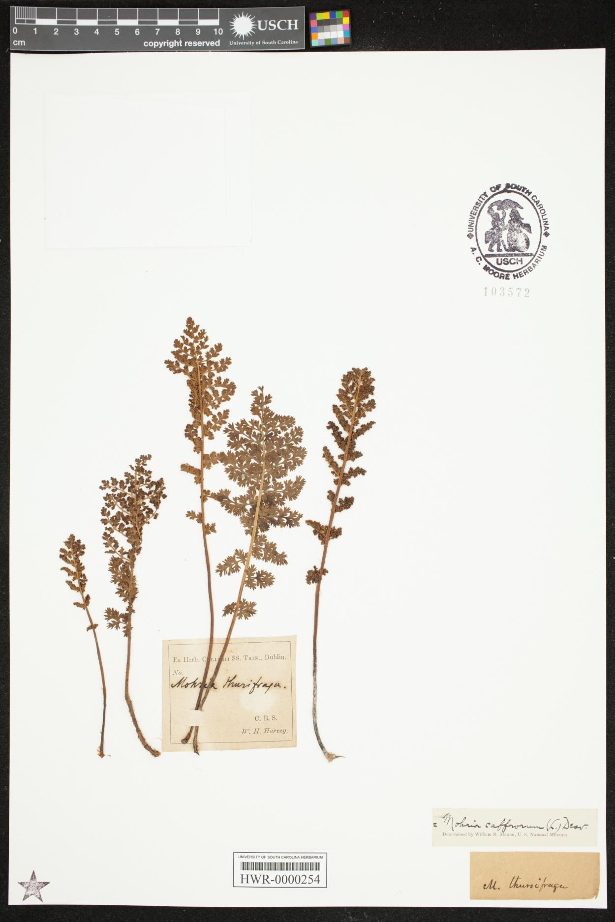 Mohria caffrorum image