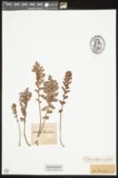 Image of Mohria caffrorum