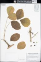 Bursera grandifolia image