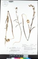 Fritillaria viridea image