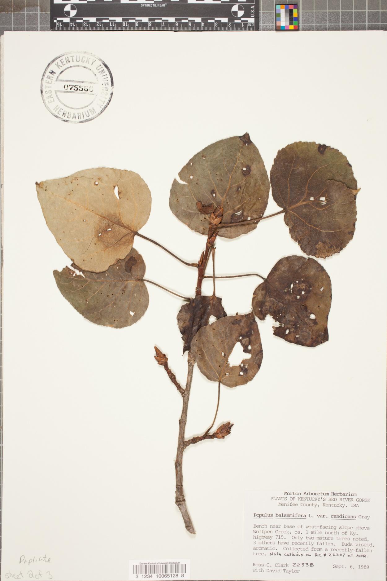 Populus balsamifera var. candicans image