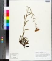 Image of Vernonia georgiana