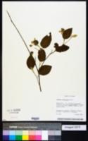 Image of Capparicordis crotonoides