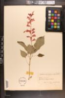 Image of Salvia cardinalis