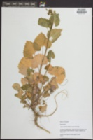 Alliaria petiolata image