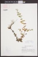 Hypericum mutilum var. latisepalum image