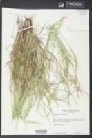 Danthonia sericea image