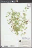 Bowlesia incana image