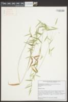 Dichanthelium acuminatum var. fasciculatum image