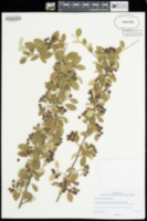 Image of Cotoneaster pannosus