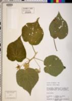 Image of Abutilon anglosomaliae