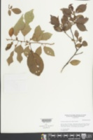 Colubrina elliptica image
